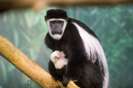 5 Wajah Monyet Yang Paling Menakutkan Dan Pelik Di Dunia