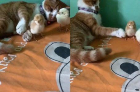 Disebabkan Bising Sangat! Gaya Selamba Kucing Tolak Anak Ayam Jatuh Akibat Geram Menghiburkan Netizen!